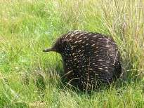 An echidna makes it's way across a paddock