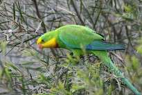 The male superb parrot
