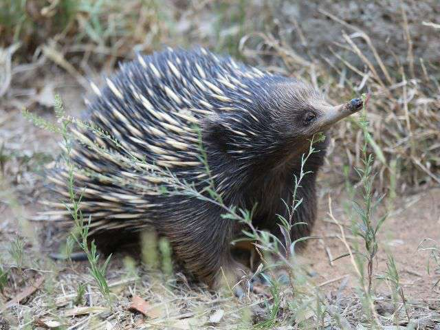 Photograph of an echidna walking with its snout held high