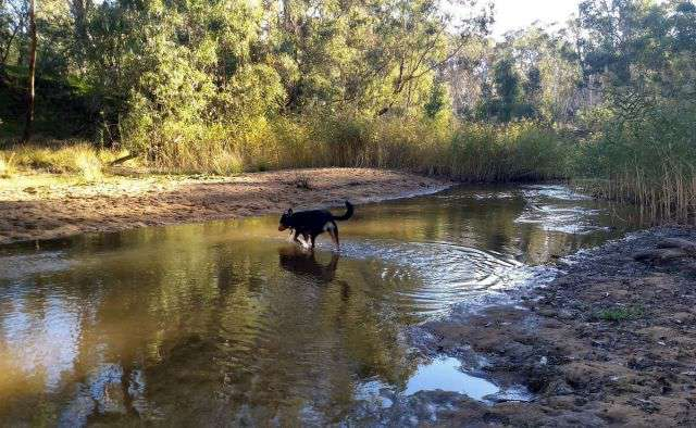 Photograph of a dog walking through the Broken River at a shallow point