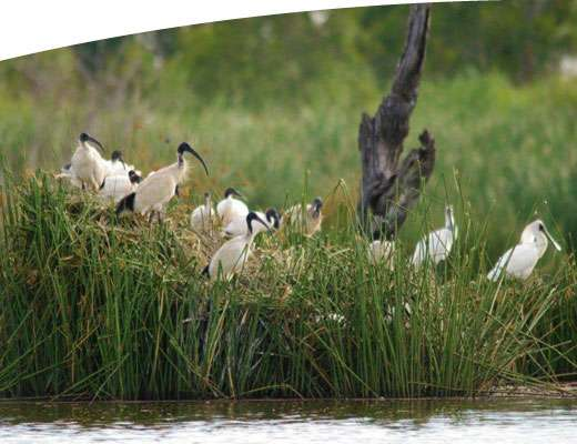 Bird life in wetlands in the GBCMA region