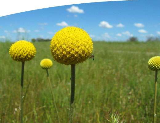 Spectacular yellow flower in green grass in the GBCMA region