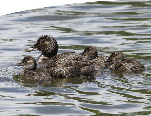A family of ducks swimming in the GBCMA region